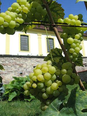 vinice u kostela